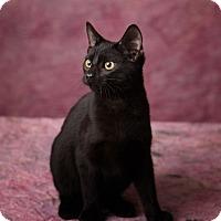 Adopt A Pet :: Binx - Harrisonburg, VA
