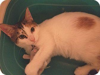 Calico Kitten for adoption in Denver, Colorado - Daisy