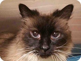 Ragdoll Cat for adoption in Missoula, Montana - ZSA ZSA