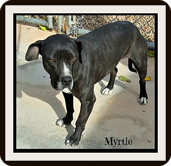 Great Dane/American Staffordshire Terrier Mix Dog for adoption in Tombstone, Arizona - Myrtle
