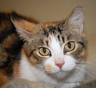 Calico Cat for adoption in Wilmington, Ohio - Callie