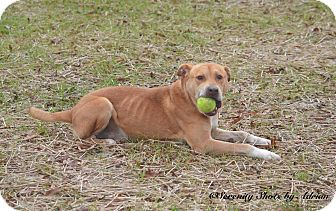 Labrador Retriever Mix Dog for adoption in Henderson, North Carolina - Waldo (HW Pos)**