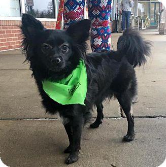 Papillon/Pomeranian Mix Dog for adoption in Centreville, Virginia - Misty