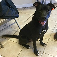 Adopt A Pet :: Starsky - Phoenix, AZ