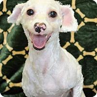Adopt A Pet :: Benoit - Brunswick, ME