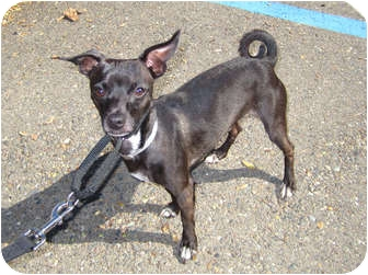 italian greyhound chihuahua - photo #43