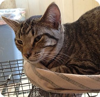 Domestic Shorthair Cat for adoption in Troy, Ohio - Sam