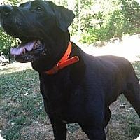 Adopt A Pet :: Beau - Lewisville, IN