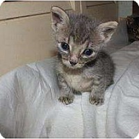 Adopt A Pet :: Baby Gray - Miami, FL
