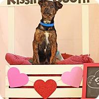 Adopt A Pet :: Boomer ADOPTION PENDING - Waldorf, MD