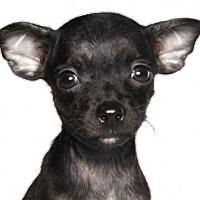 Adopt A Pet :: Corvette - Oakland Park, FL