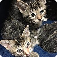 Adopt A Pet :: Catalpa - Chicago, IL