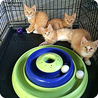 Adopt A Pet :: Orange Kittens - Clay, NY