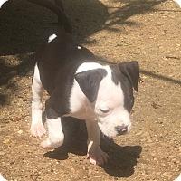 Adopt A Pet :: Phelps - Joliet, IL