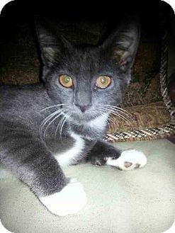 Domestic Shorthair Kitten for adoption in Barrington, New Jersey - Colby