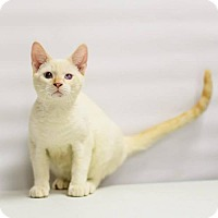 Siamese Cat for adoption in Lake Jackson, Texas - Flame