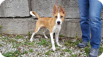 Basenji/Labrador Retriever Mix Puppy for adoption in St John, Indiana - Olaf