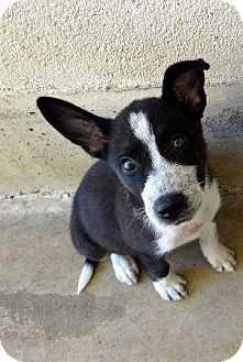 Australian Cattle Dog/Husky Mix Puppy for adoption in Coopersburg, Pennsylvania - Tammy