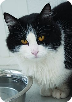 Domestic Shorthair Cat for adoption in Georgetown, Texas - Casey