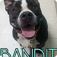 Adopt A Pet :: Bandit - Union City, TN