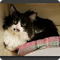 Adopt A Pet :: Pixie - Gilbert, AZ