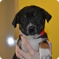 Adopt A Pet :: Brantley - Rockwall, TX