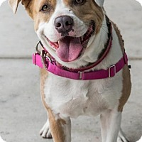 American Bulldog Mix Dog for adoption in Miami, Florida - Star