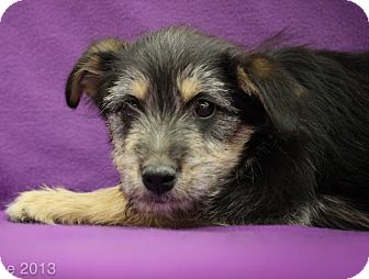 Shepherd (Unknown Type)/Terrier (Unknown Type, Medium) Mix Puppy for adoption in Broomfield, Colorado - Bacon