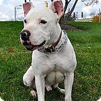 Adopt A Pet :: Dawson - Chicago, IL