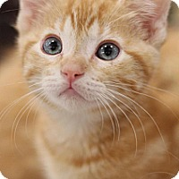 Adopt A Pet :: Mr. Nibbles - Sacramento, CA