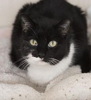Domestic Shorthair Cat for adoption in Denver, Colorado - Ciara