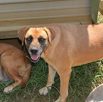 Mountain Cur/Labrador Retriever Mix Dog for adoption in Grenada, Mississippi - Allie