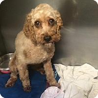Adopt A Pet :: Darcy - Oak Ridge, NJ