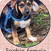 Adopt A Pet :: Sophie (Pom) - Harrisonburg, VA