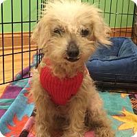 Adopt A Pet :: Stella - Schaumburg, IL