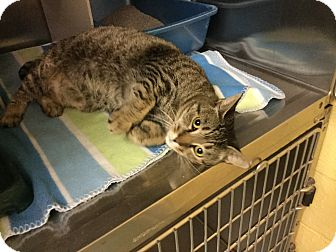 Domestic Shorthair Cat for adoption in Richboro, Pennsylvania - Blake Lively