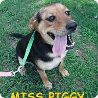 Adopt A Pet :: Miss Piggy - Batesville, AR
