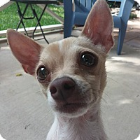 Adopt A Pet :: Candy - AUSTIN, TX