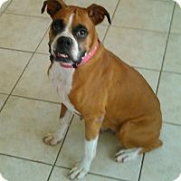 Boxer Dog for adoption in Austin, Texas - TaMolly