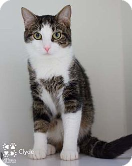 Domestic Shorthair Cat for adoption in Merrifield, Virginia - Clyde