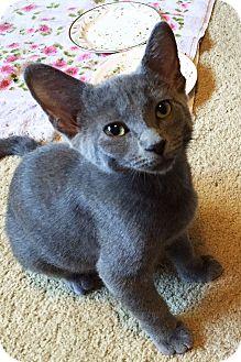 Domestic Shorthair Kitten for adoption in Lincoln, Nebraska - Cora