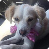 Adopt A Pet :: Becky - Manhattan Beach, CA