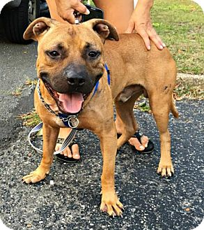Pit Bull Terrier/American Bulldog Mix Dog for adoption in Spring Lake, New Jersey - Rocky