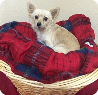 Chihuahua Dog for adoption in Gridley, California - Foster
