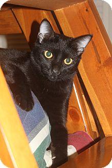 Bombay Kitten for adoption in Houston, Texas - Paige