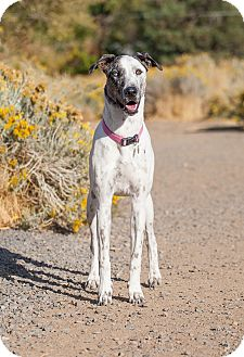 Great Dane/Greyhound Mix Puppy for adoption in Washoe Valley, Nevada - Jazzy