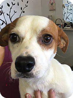 Foxhound/Beagle Mix Puppy for adoption in Joliet, Illinois - Jimmy