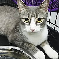 Domestic Shorthair Cat for adoption in Phoenix, Arizona - Minnie