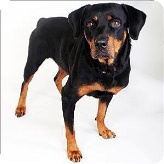 Rottweiler Mix Dog for adoption in McKinney, Texas - Susie Q