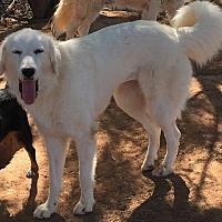 Adopt A Pet :: Farrah Fawcett - Wichita Falls, TX